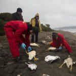 Cile: disastro ambientale senza precedenti, migliaia gli animali marini morti
