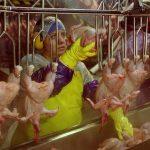 Quei dipendenti dell'industria del pollo costretti a far pipì nei pannoloni