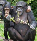 automedicazione, scimmie