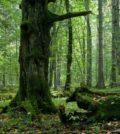 deforestazione, Białowieża