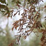 Xylella: l'Ue impone la strage degli ulivi in Puglia. Anche di quelli sani