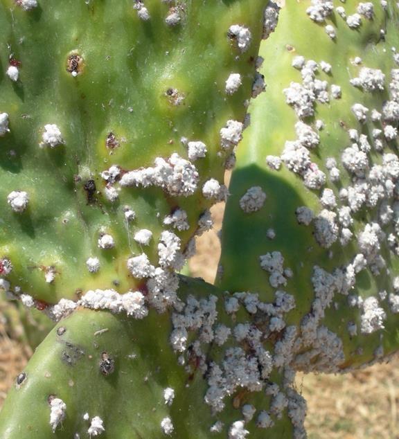 Cocciniglia 4 rimedi naturali per liberarcene ambiente bio for Piante secche ornamentali