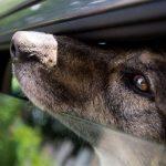 Cani in auto e sotto al sole: in Florida rompere il finestrino è legale