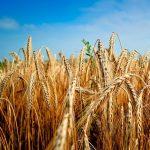 Grani antichi: la ribellione dei contadini contro le multinazionali