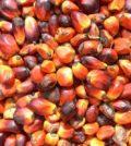 Olio di palma: biodiversità a rischio