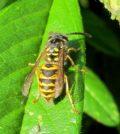 Punture di vespa