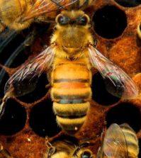 api e pesticidi neonicotinoidi