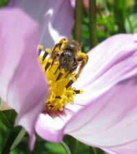 I devastanti effetti dei pesticidi neonicotinoidi sulle api selvatiche: lo studio