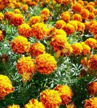 Quali sono le proprietà dei fiori eduli?