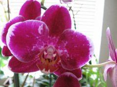 Piante in camera da letto: ecco una bella Falenopsis