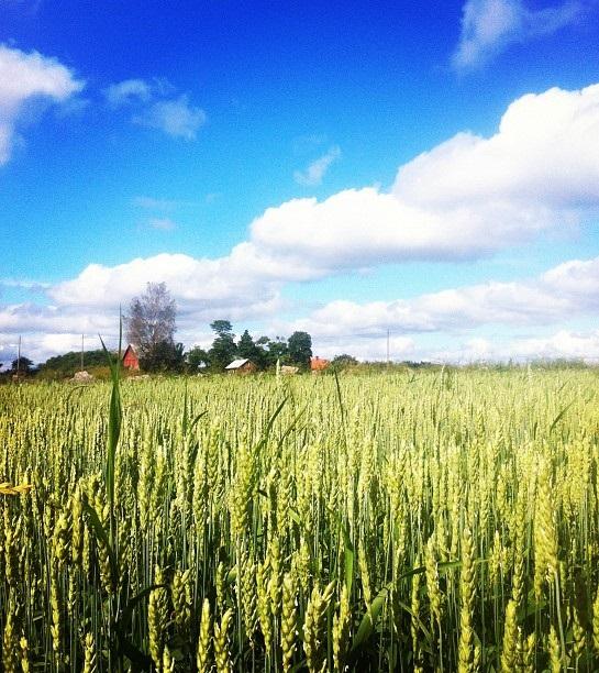 L'Italia importa cereali pieni di deossinivalenolo, una micotossina che può provocare danni alla salute
