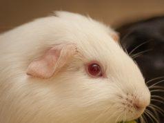 La Corte di Giustizia Ue ribadisce il no dell'Europa ai test sugli animali