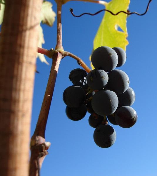 Bellezza e benessere: tutti i benefici dell'uva e della vinoterapia