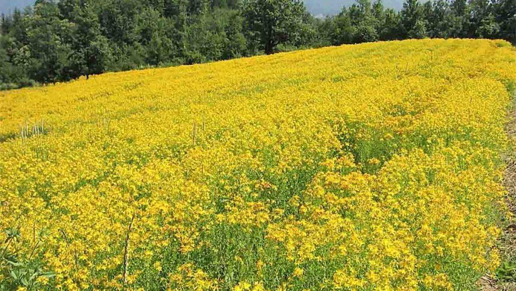 iperico fiori di campo