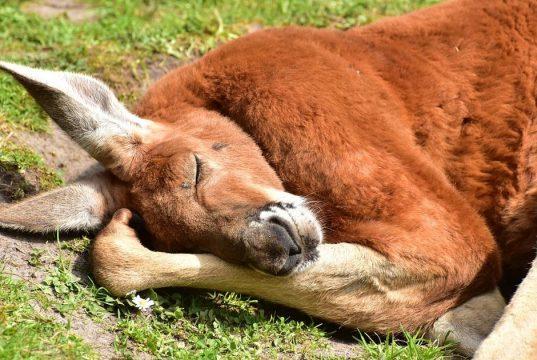 Il massacro di canguri in Australia
