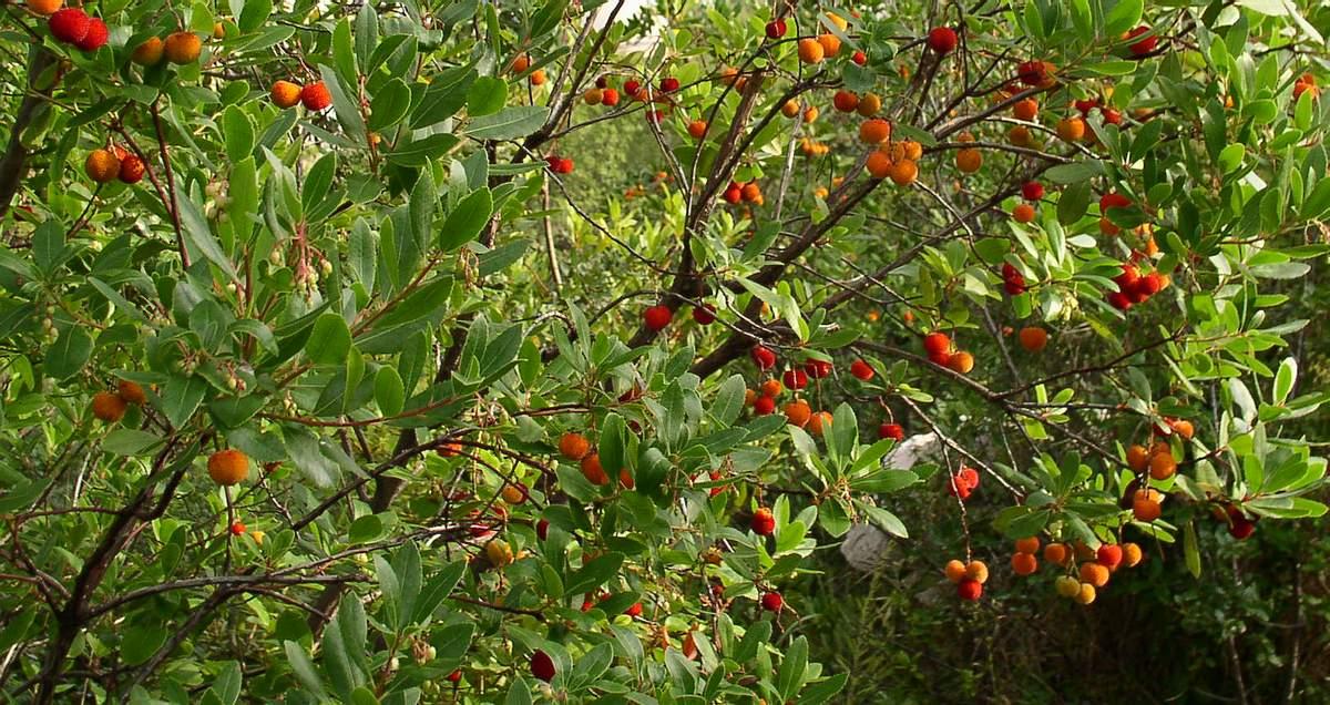alberi e arbusti macchia mediterranea