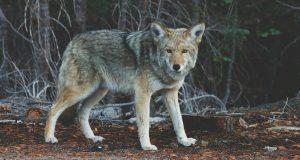 La legge ammazza lupo