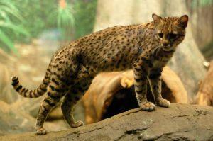 gatto africano