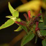Caprifoglio: la pianta che mangia lo smog e ripulisce l'aria