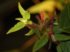 Caprifoglio: la pianta che assorbe lo smog
