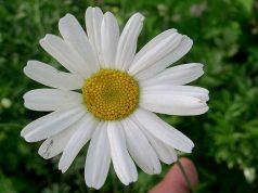 Piretro, l'insetticida 'naturale'