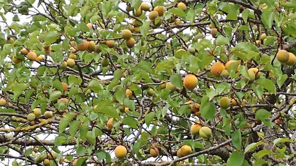 albicocche benefici albero