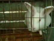 Cina: conigli torturati per la pelliccia