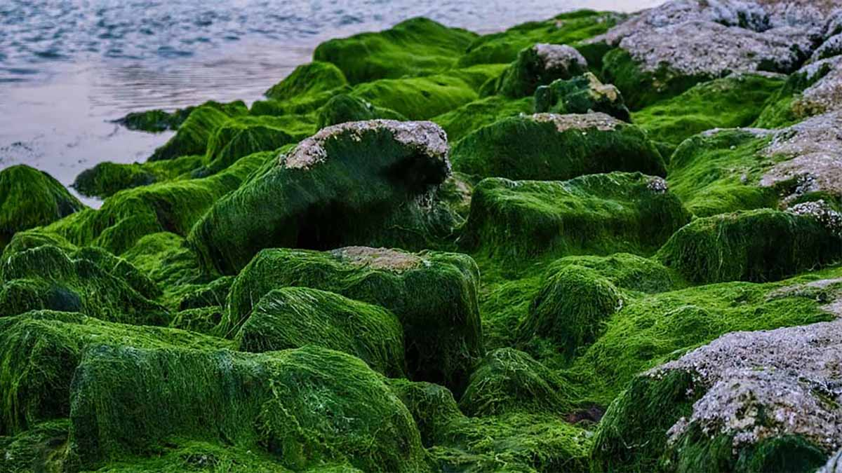 clorella rocce
