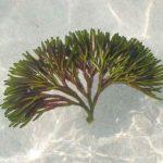Alghe commestibili: le varietà più usate