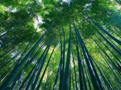 coltivazione del bambu