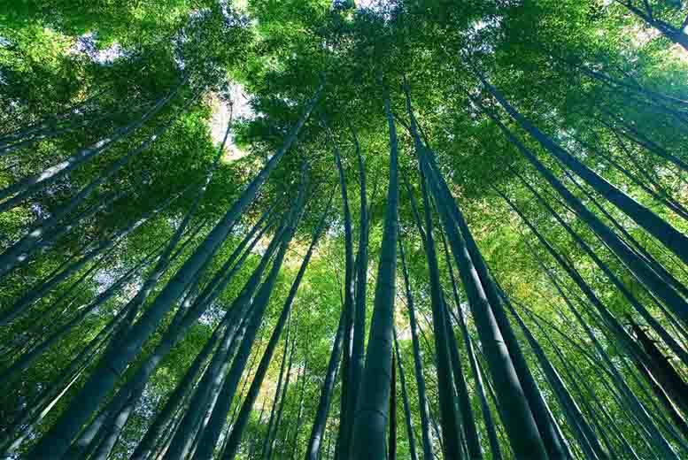 coltivazione del bamb nuova opportunit per gli