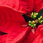Stella di natale: i trucchi per farla sopravvivere sino al prossimo Natale