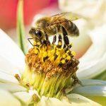 Svelato il misterioso legame tra l'uso di fungicidi e la scomparsa delle api
