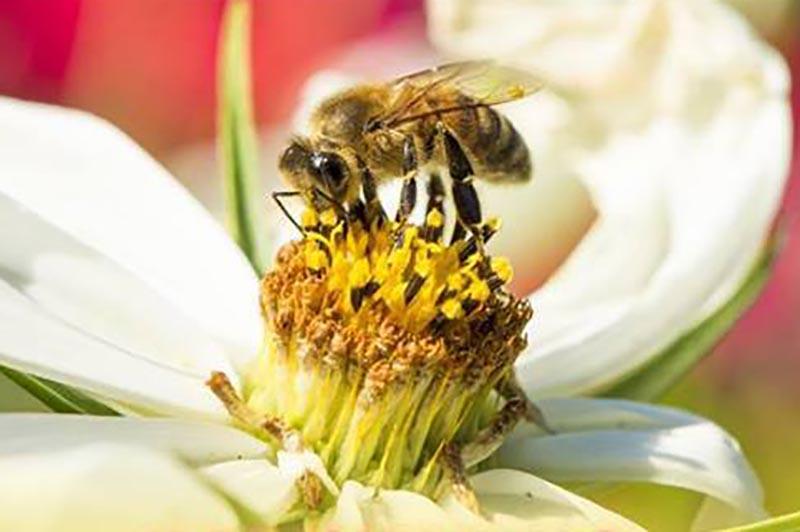 scomparsa delle api