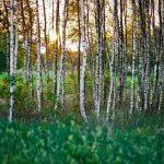 Betulla: la pianta che cura le infezioni urinarie e le infiammazioni
