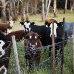 """Industria lattiero casearia: lo sporco segreto dei vitelli uccisi alla nascita perché """"inutili"""""""