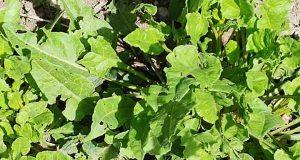 bietolina erbe spontanee commestibili