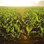 Ue, nuovo regolamento biologico: rischio contaminazione con ogm e pesticidi