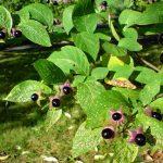 Belladonna: il potere curativo della pianta capace di uccidere