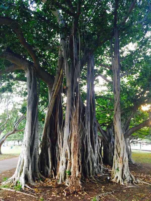Baniano albero sacro indiano