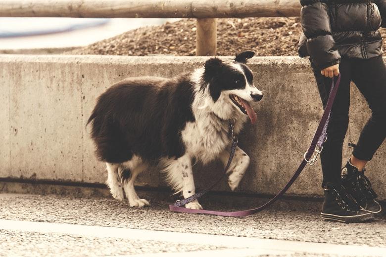 guinzaglio come educare il cane