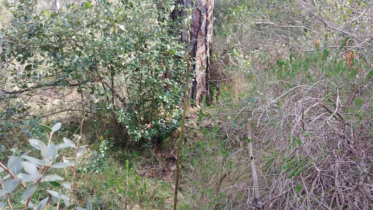 asparagi selvatici dove trovarli