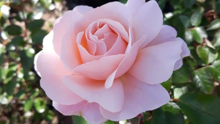 Sciroppo di rose