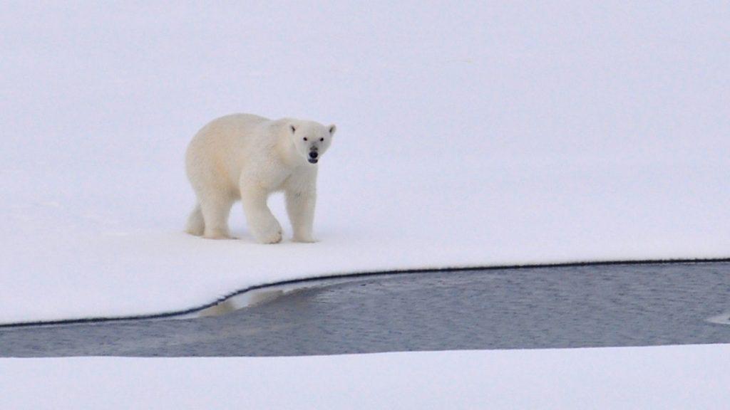 orso polare artico