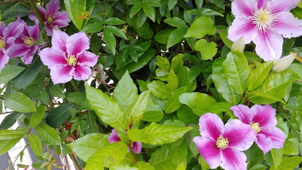 clematis rosa