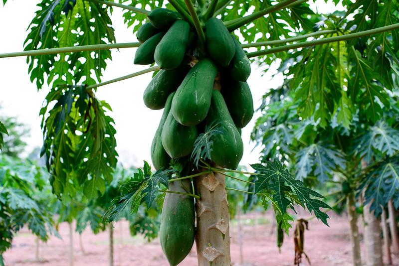 albero della papaya