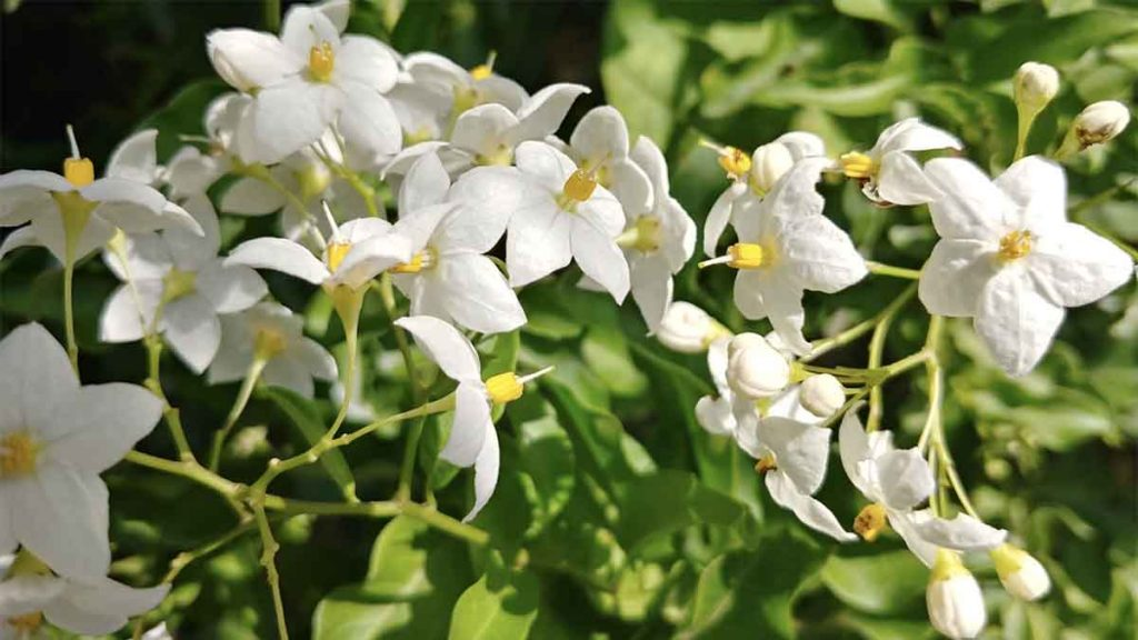 fiori di gelsomino commestibili
