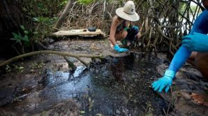 mangrovie colpite al petrolio in brasile