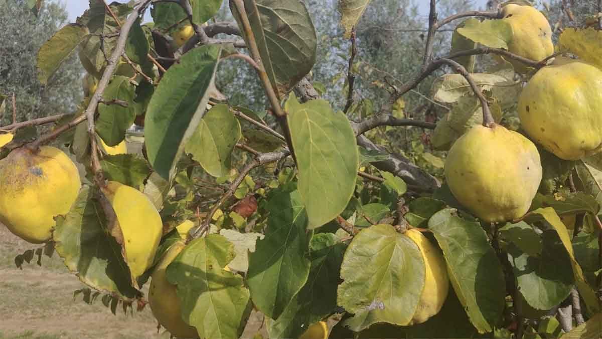 albero di mela cotogna