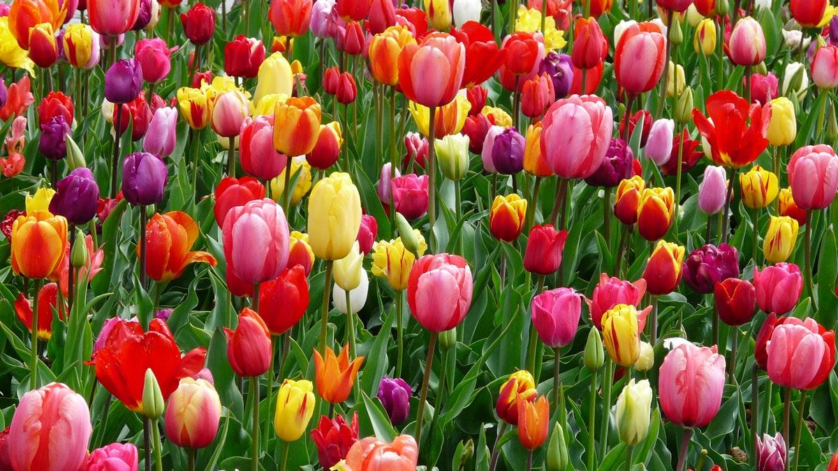 Piantare I Bulbi Di Tulipani tulipani: quando e come piantare i bulbi che colorano i tuoi
